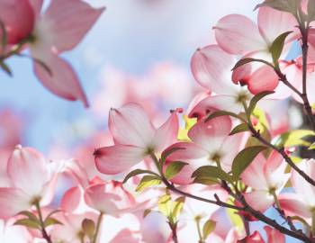 beautiful pink spring flowers in the blue sky