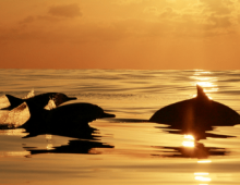 dolphins jumping out of the water during sunset