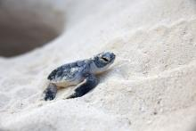 new born baby sea turtles walking on the sand approaching the ocean from its nest