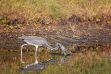 blue heron catching fish at the audubon newhall preserve on hilton head
